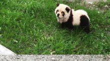 Homem que tingiu pelos de cachorro para transformá-lo em panda é investigado pela polícia