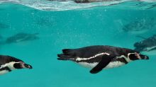 Canadian zoo probing penguin drowning deaths