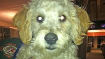 Pet of the Week: Miniature Poodle named Ricky