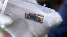 200 reinas demuestran el peligro de las avispas asesinas invasoras