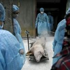 African swine fever has killed millions of China's pigs and poses a possible global threat