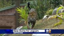 LA Zoo Unveils 7,000-Square-Foot Jaguar Habitat