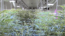 Aurora earnings show concern for pot stocks