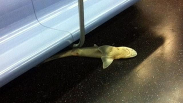 Fish Out of Water: Dead Shark Found on NYC Subway