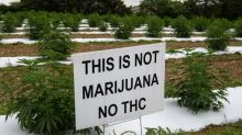 'Not marijuana': US hemp farmers battle tough market and thieves