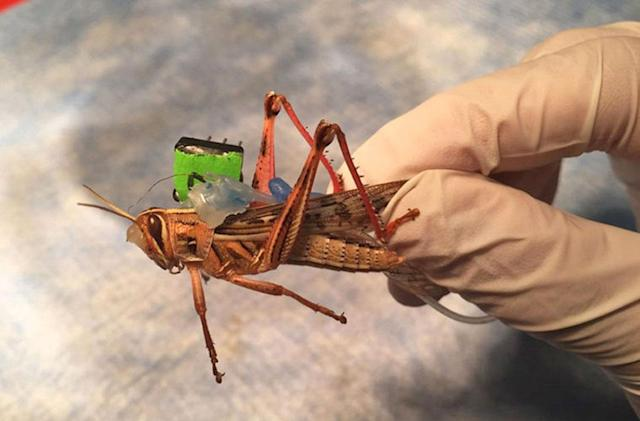 Cyborg locusts with tattooed wings can sniff out bombs