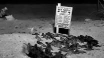 Raw: Sea Turtle Hatchlings Emerge From Nest