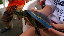 Goin' To The Lake: Turtle Race At Crosslake's Boyd Lodge