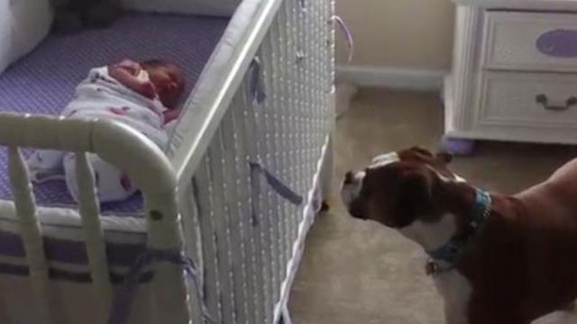 Boxer Meets Baby Sister For First Time