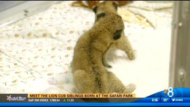 Little lions on limited display at Safari Park