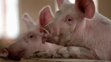 China finds African swine fever in country's south, fuelling supply worries