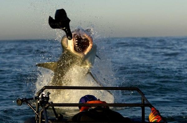 23rd Shark Week starts Sunday, sends slow mo HD cameras into the jaws of a great white
