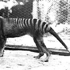 Recently Released Sightings Have Some Wondering if Extinct Tasmanian Tiger Is Still Alive