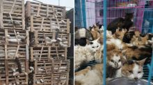 Hundreds of dying cats saved from ending up in restaurants