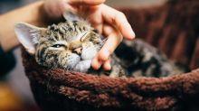 """""""Canibalismo de gatos"""": salen a la luz cuestionables experimentos patrocinados por el gobierno de EEUU"""