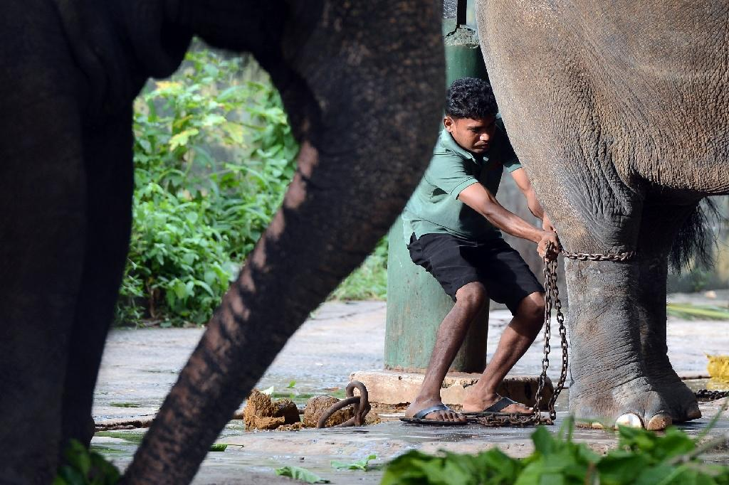 Sri Lankan authorities say more than 40 baby elephants, often the mother is killed in the process, have been stolen from national parks over the past decade and are being kept as pets (AFP Photo/Lakruwan Wanniarachchi)