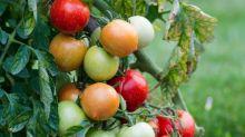 Le virus de la tomate a disparu de France