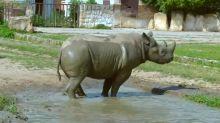 Endangered black rhinos relocated to Rwanda