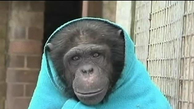 Chimps wrap up during big freeze