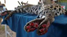 Amanaci, el jaguar herido por las llamas que no sabe si podrá volver al Pantanal