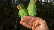 Tierschützer sorgen sich um bedrohte australische Papageienart