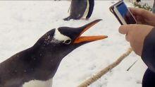 Naughty penguin bites tourist and runs away