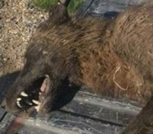 Mystery 'Wolf-Like' Animal Reportedly Shot In Montana, Baffles Wildlife Officials