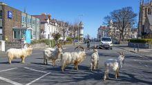 Während Menschen in häuslicher Quarantäne sind, übernehmen Ziegen eine Kleinstadt in Wales