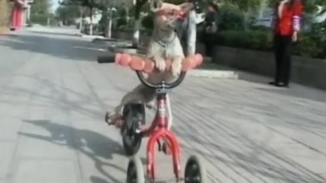 Watch small dog skateboard, ride tricycle