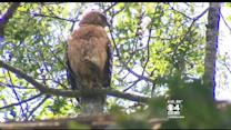 Man Attacked By Hawk In Lakeville
