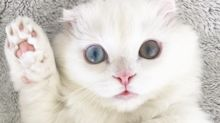 Assim como os humanos, gatos podem ser canhotos ou destros