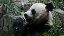 Un bébé panda est né au zoo de Washington