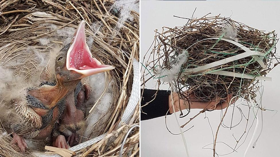 'They collect anything': Dangerous household item found in bird's nest