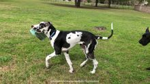 Great Danes have fun delivering the newspaper