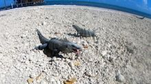Iguanas loudly munch on tortilla chips on the beach in Belize