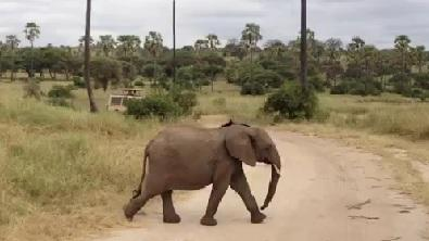 Baby Elephant Tries to Keep Up