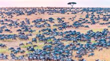 Can you spot the zebra among the wildebeests?
