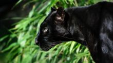 Black panther 'spotted in Scotland' as police urge residents to stay away