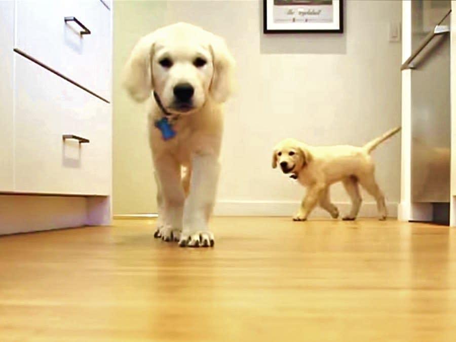 Golden Retriever Puppies Time Lapse Video