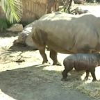 Chile zoo welcomes rhino calf amid pandemic