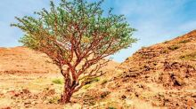 Why the future of frankincense, the aromatic festive favourite, hangs in the balance