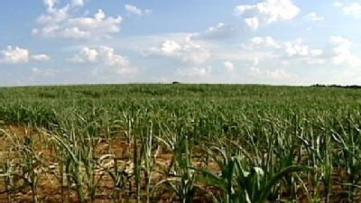 Drought Affects Upstate Corn Maze