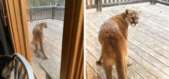 Woman, pets followed by 'curious' cougar in Alberta