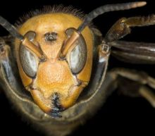 'Murder hornet': First nest found in US eradicated with vacuum hose
