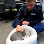 Baby wombat Ted the latest recruit at police station in Australia