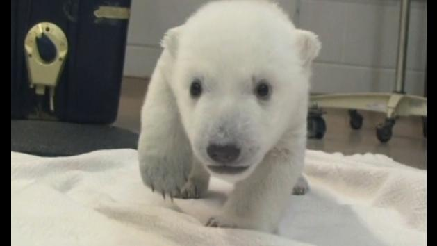 Polar bear cub takes his first steps
