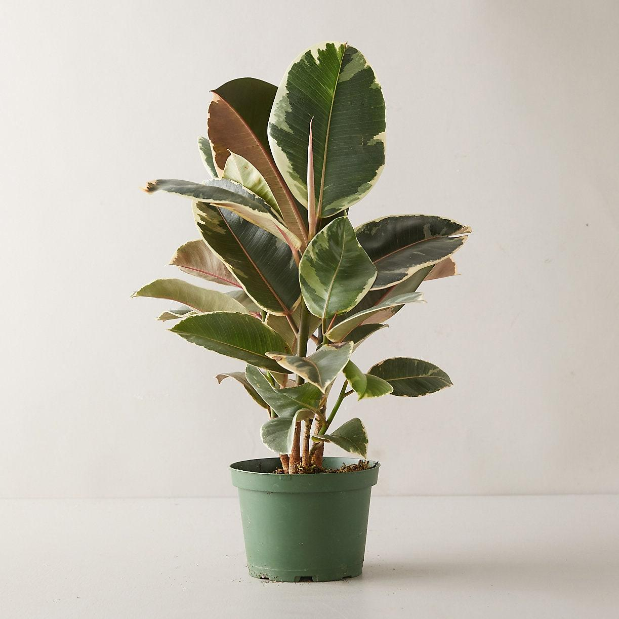 """<p>Whether in burgundy or regular green, rubber trees will produce lots of oxygen—more than any other plant, in fact! In addition to producing oxygen and eliminating air toxins, the rubber tree effectively removes mold spores and bacteria from the air (by up to 60%). Fighting off mold and bacteria is part of the plant's defense mechanism to protect its soil.</p> <p>Rubber trees filter toxins including:</p> <p>- formaldehyde</p> $48, Terrain. <a href=""""https://www.shopterrain.com/products/tineke-ruby-ficus-plant"""" rel=""""nofollow noopener"""" target=""""_blank"""" data-ylk=""""slk:Get it now!"""" class=""""link rapid-noclick-resp"""">Get it now!</a>"""