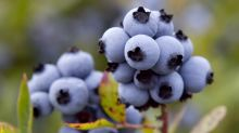 Maine blueberry industry reels from drought, frost, virus