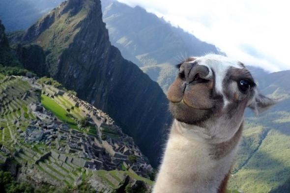<p>Tourist Junichi Masuda, 34, from New York, was taking a snap of the world famous Incan city Machu Picchu, Peru when an opportunistic llama popped his head up at exactly the right moment.</p>  <p></p>