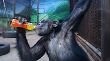 Chimpanzees are forcing us to redefine what it means to be human